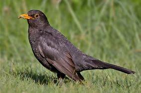 Image result for Common Blackbird
