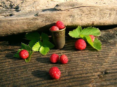wilde erdbeeren im garten wilde erdbeeren erdbeeren und