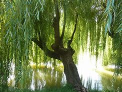 Image result for willow images