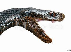Image result for free pics of snakes rearing up mouth open