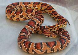 Image result for okeetee corn snake