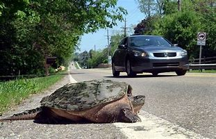 Image result for pictures of turtle crossing road
