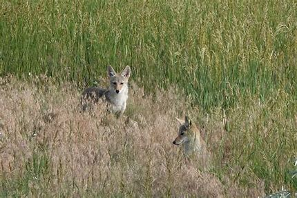 Image result for coyotes couples