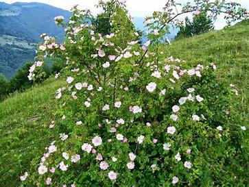 Fleur d'églantier  OIP.0CX3UoY8jbEQMCqY1SMT5wHaFj?w=233&h=175&c=7&o=5&dpr=1.56&pid=1