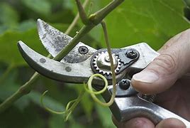 Image result for free picture of pruning grape vine