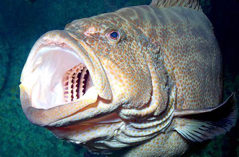 Image result for grouper