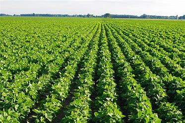 Image result for soybean fields image