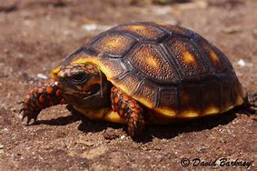 Image result for baby red foot tortoise