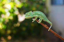 Image result for baby veiled chameleon