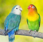 Image result for love birds