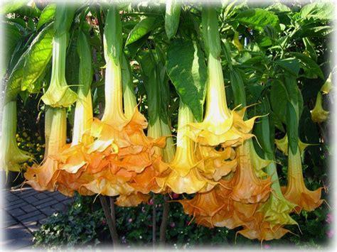 brugmansia langenbuscher garten wild things grow
