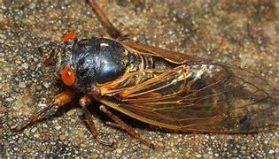Image result for photo cicadas