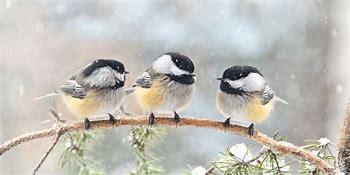 Image result for chickadee pics