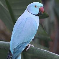 Image result for ringneck Parrot