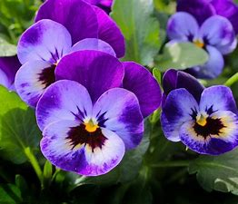 Image result for images flowers pansy