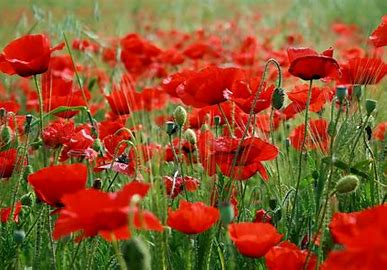 Image result for image of poppy flower