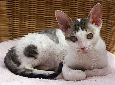 Image result for rex cat