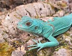 Image result for Baby Blue Iguana