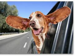 Image result for free pics of dog with head out of car