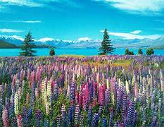 ルピナス畑 に対する画像結果