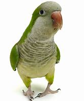 Image result for Quaker Parrot