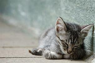 猫 寝顔 に対する画像結果
