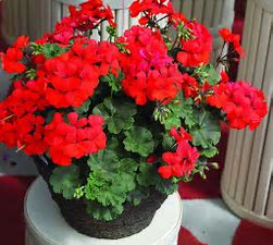 Image result for geraniums