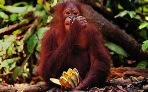 Résultat d'images pour orang outang