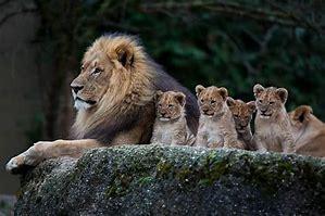 ライオン 画像 に対する画像結果