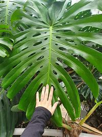 Image result for giant monstera plant