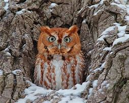 Image result for Eastern Screech-Owl