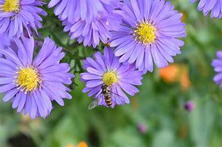 Image result for michaelmas daisies