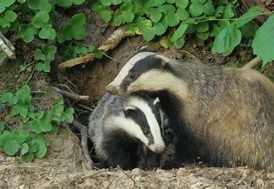 Image result for Badger family