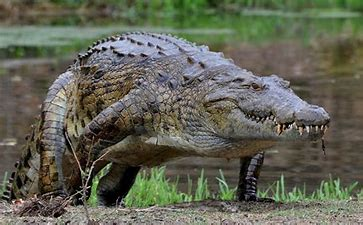 Image result for images crocodiles in a river
