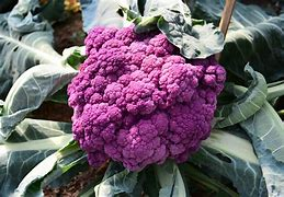 Image result for images of purple cauliflower
