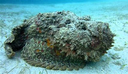 Image result for stonefish