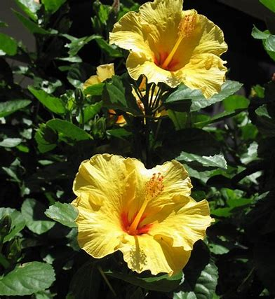 Image result for exotic yellow hibiscus florida