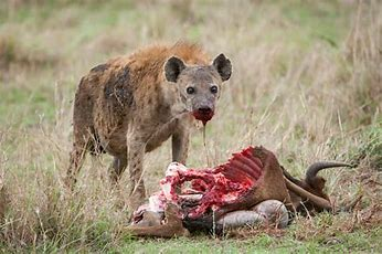 Image result for images wild hyenas over a kill