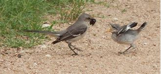 Image result for pictures of mockingbird feeding on road