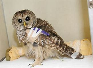 Image result for owl with a broken wing