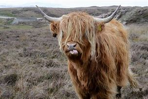 Image result for scottish hairy cattle