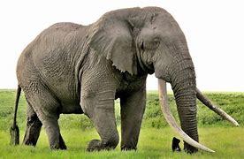 Resultado de imagem para elephant
