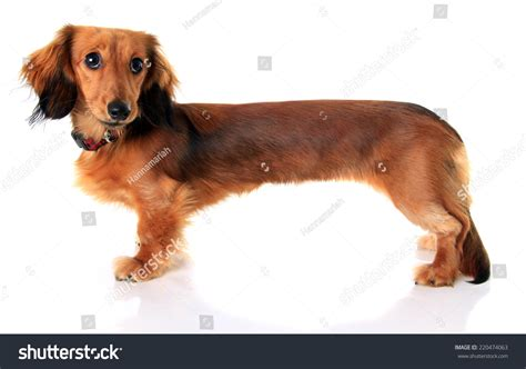 longhair dachshund puppy stretched extra long in