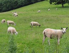Image result for free picture of grazing sheep