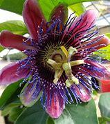 Résultat d'images pour fleur de verité