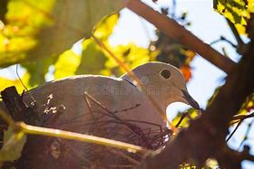 Image result for pictures of doves sitting in the sun