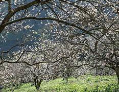 Image result for rừng mai trắng