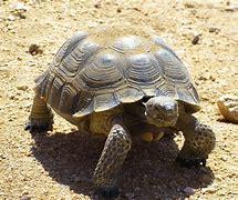Image result for desert tortoise