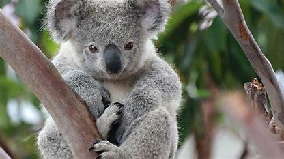 Risultato immagine per koala