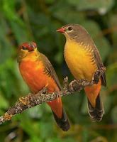 Image result for gold breasted waxbill finch